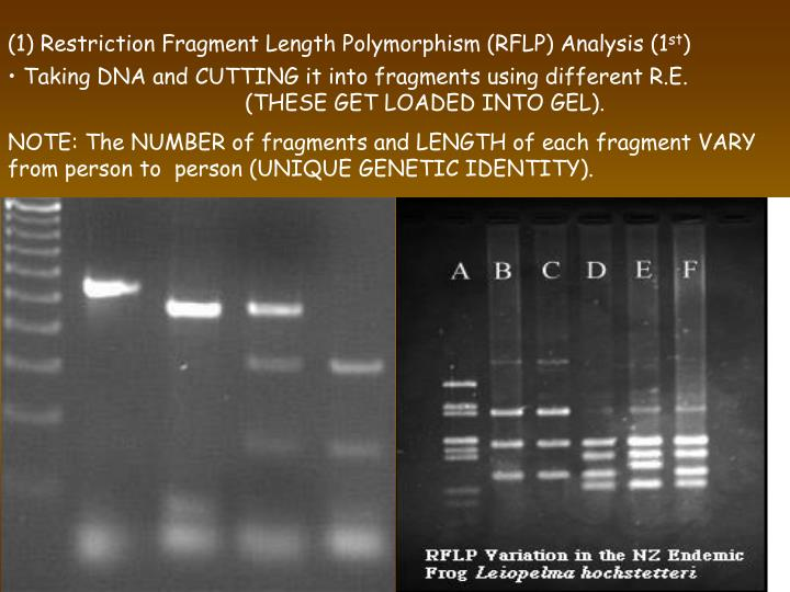 (1) Restriction Fragment Length Polymorphism (RFLP) Analysis (1