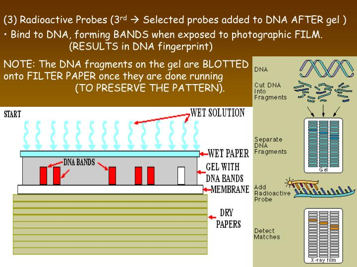 (3) Radioactive Probes (3