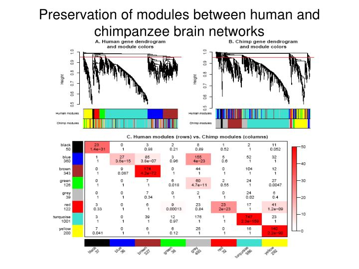 Preservation of modules between human and chimpanzee brain networks