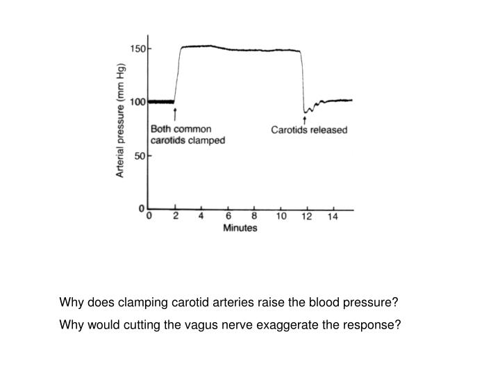 Why does clamping carotid arteries raise the blood pressure?