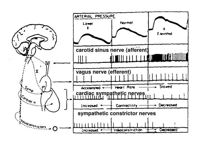 carotid sinus nerve (afferent)