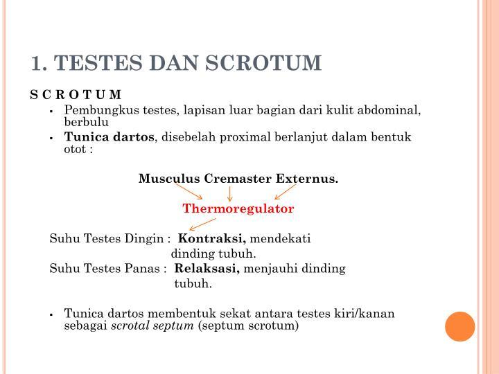 1. TESTES DAN SCROTUM
