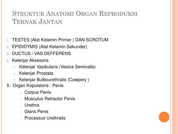 Struktur Anatomi Organ Reproduksi Ternak Jantan