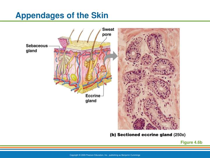 Appendages of the Skin
