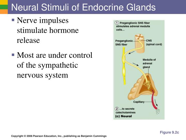 Neural Stimuli of Endocrine Glands