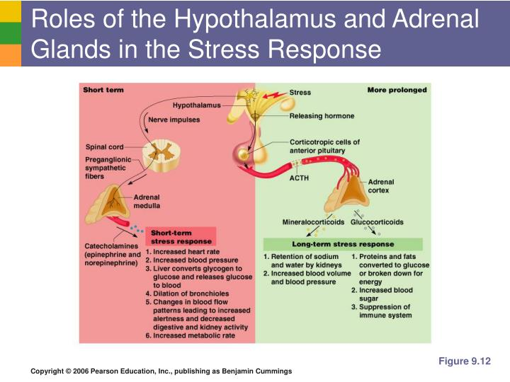 Roles of the Hypothalamus and Adrenal Glands in the Stress Response