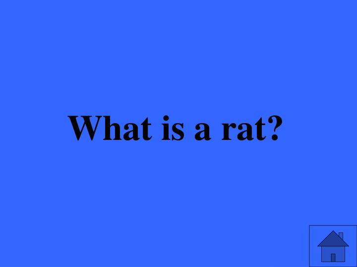 What is a rat?
