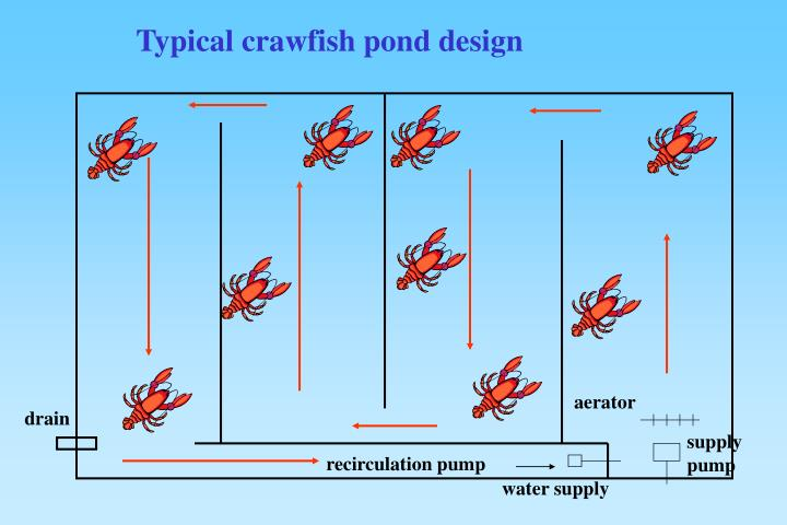 Ppt culture of red swamp crawfish procambarus clarkii for Design of oxidation pond ppt