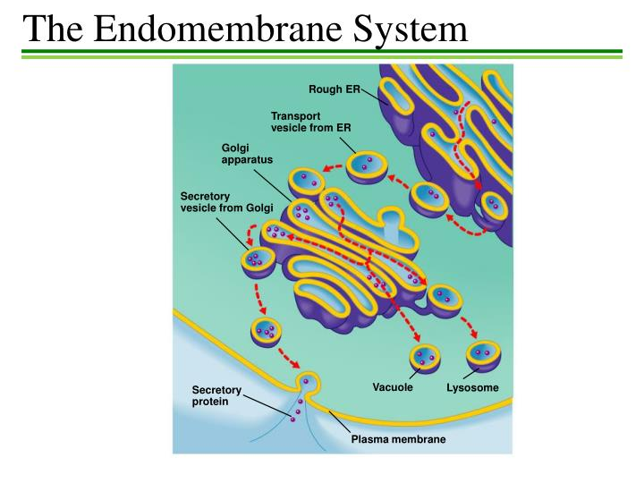 The Endomembrane System
