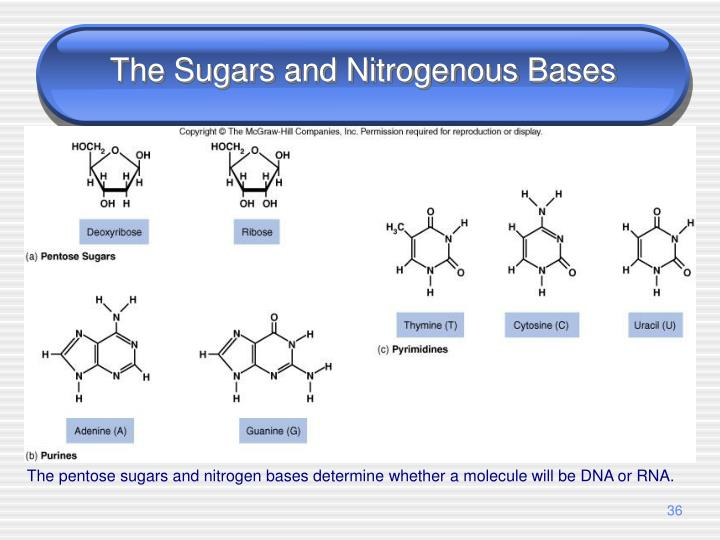 The Sugars and Nitrogenous Bases