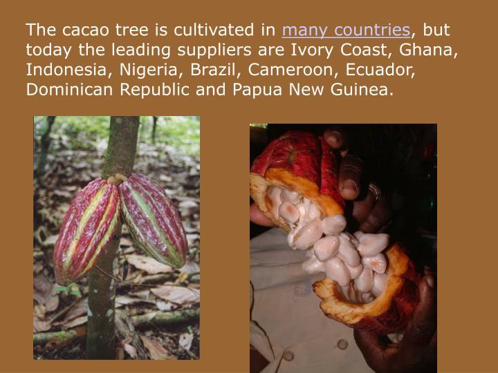 The cacao tree is cultivated in