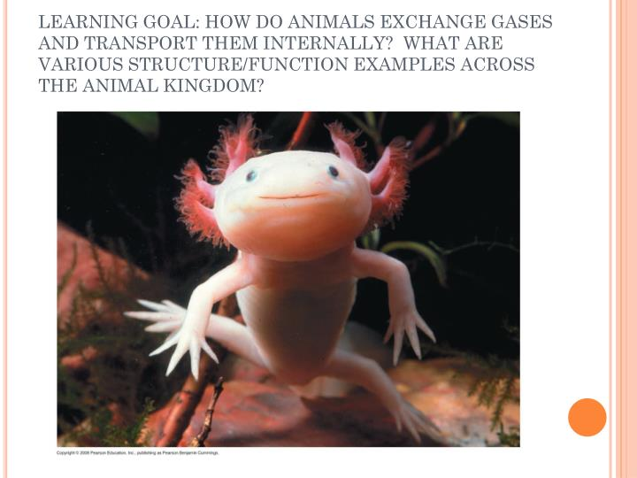 LEARNING GOAL: HOW DO ANIMALS EXCHANGE GASES AND TRANSPORT THEM INTERNALLY?  WHAT ARE VARIOUS STRUCTURE/FUNCTION EXAMPLES ACROSS THE ANIMAL KINGDOM?