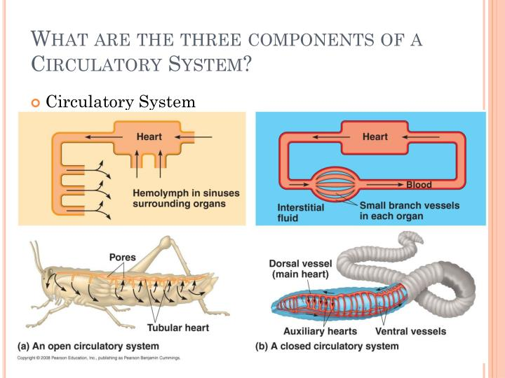 What are the three components of a Circulatory System?
