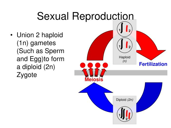 Union 2 haploid (1n) gametes (Such as Sperm and Egg)to form a diploid (2n) Zygote