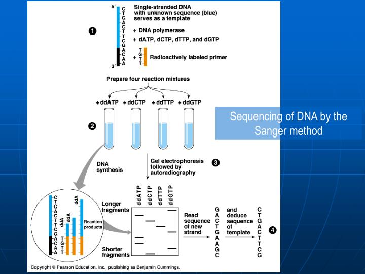Sequencing of DNA by the Sanger method