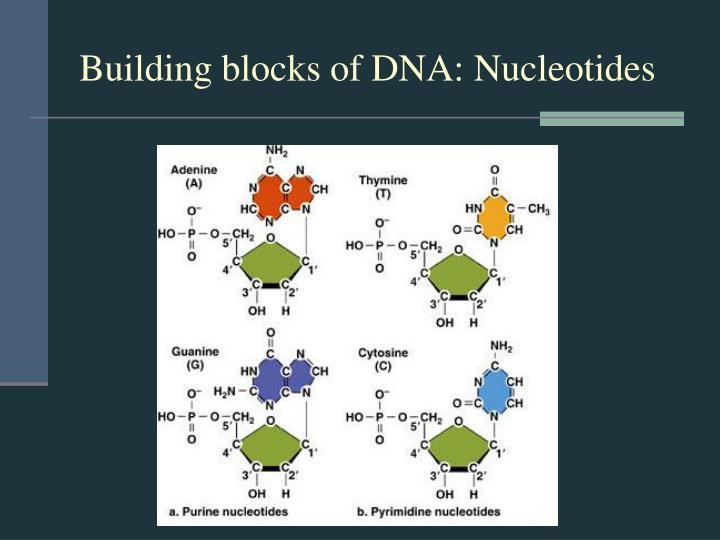 Building blocks of DNA: Nucleotides
