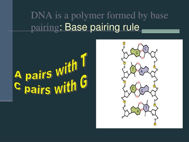 DNA is a polymer formed by base pairing