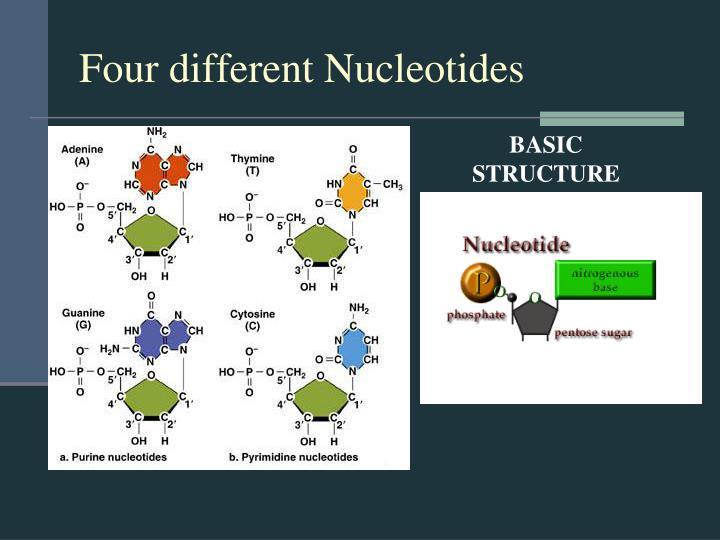 Four different Nucleotides