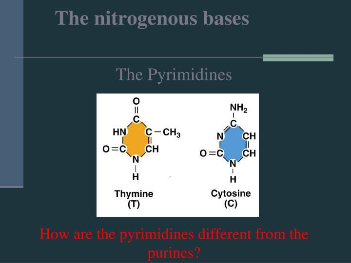 The nitrogenous bases
