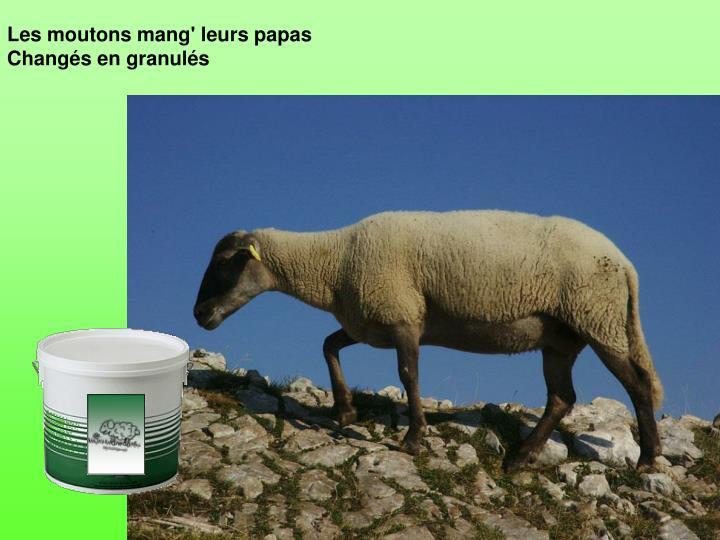 Les moutons mang' leurs papas