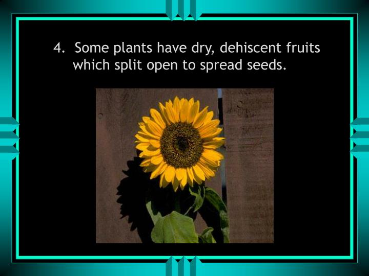 4.  Some plants have dry, dehiscent fruits