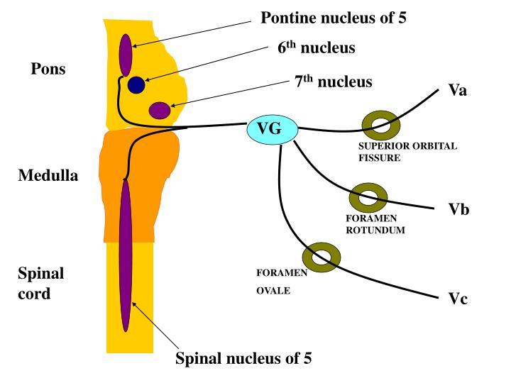 Pontine nucleus of 5