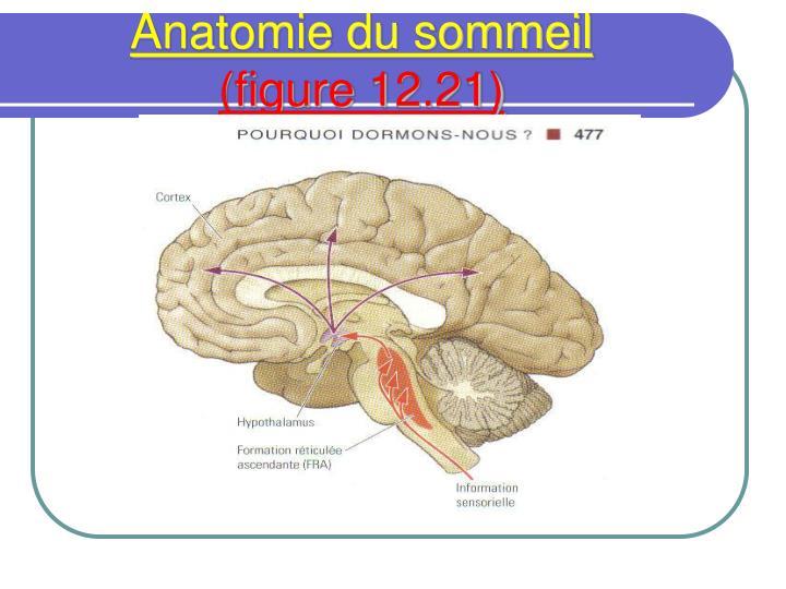 Anatomie du sommeil