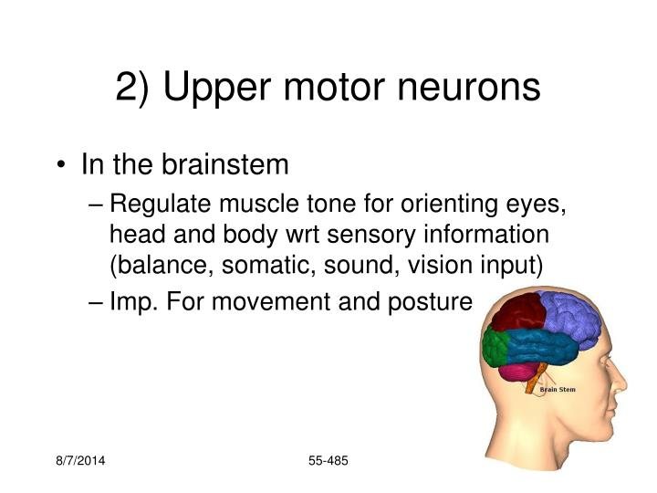 2) Upper motor neurons