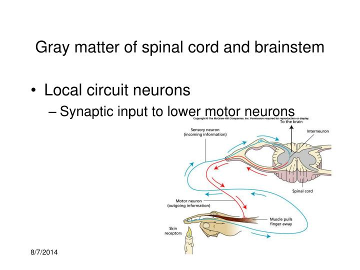 Gray matter of spinal cord and brainstem