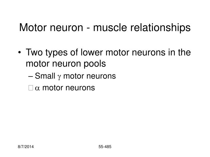 Motor neuron - muscle relationships