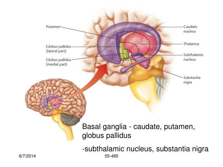 Basal ganglia - caudate, putamen, globus pallidus