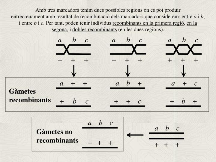 Amb tres marcadors tenim dues possibles regions on es pot produir
