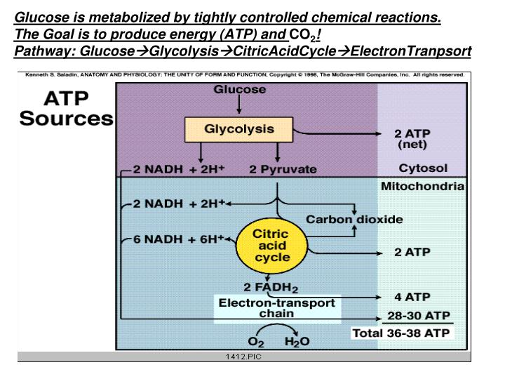 Glucose is metabolized by tightly controlled chemical reactions.