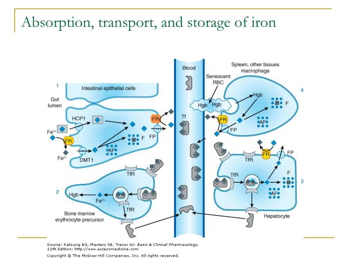 Absorption, transport, and storage of iron