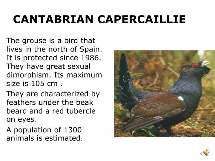CANTABRIAN CAPERCAILLIE