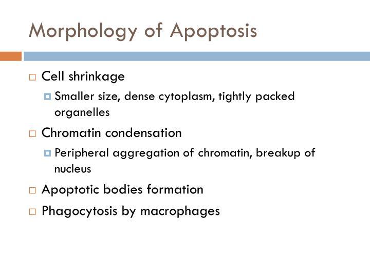 Morphology of Apoptosis