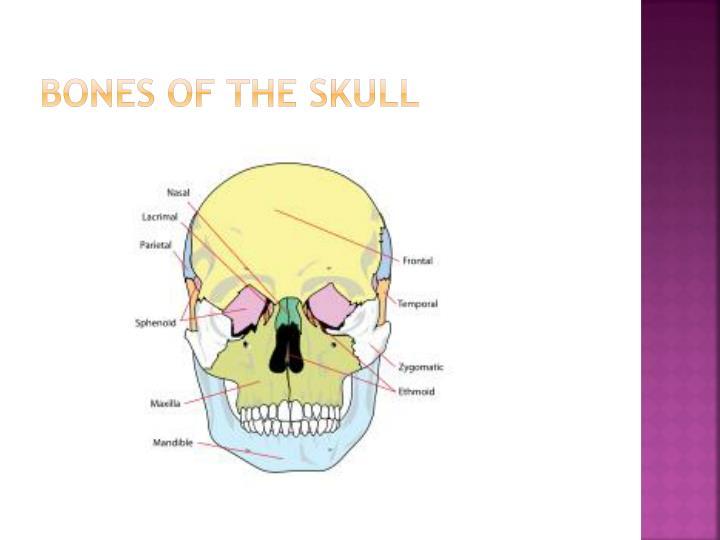 Bones of the