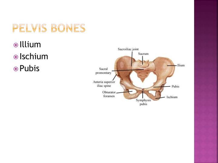 Pelvis Bones