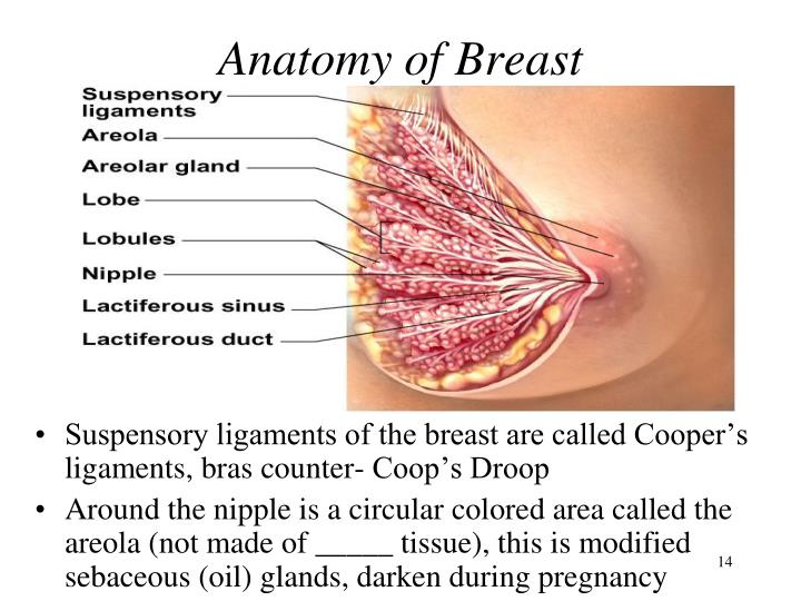 Anatomy of Breast