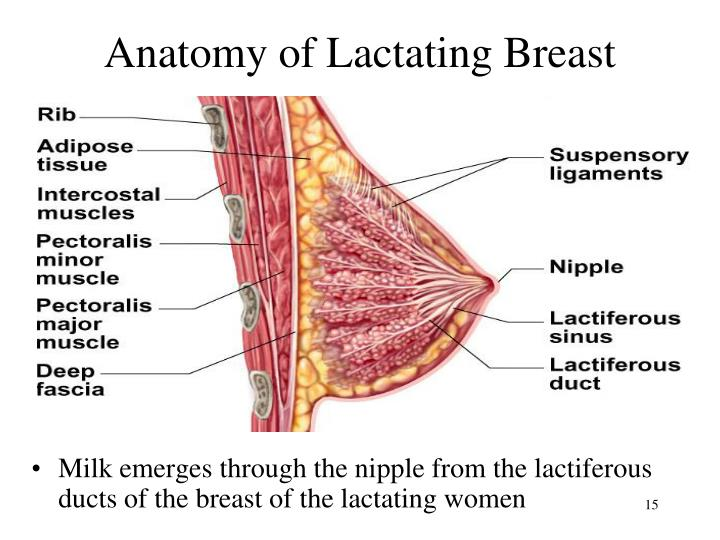 Anatomy of Lactating Breast