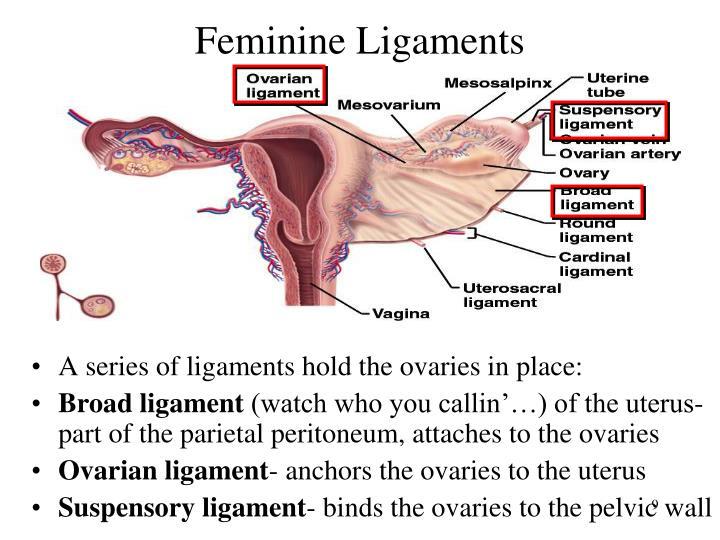 Feminine Ligaments