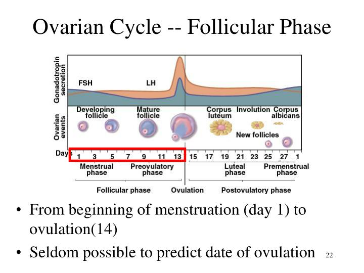Ovarian Cycle -- Follicular Phase