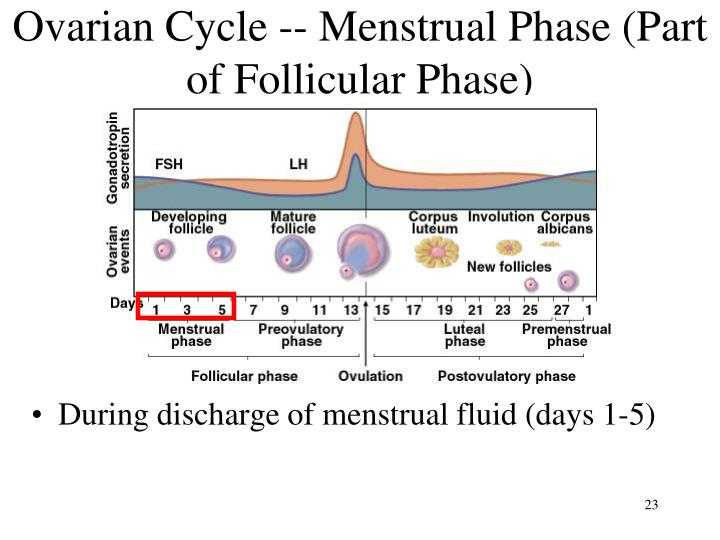 Ovarian Cycle -- Menstrual Phase (Part of Follicular Phase)