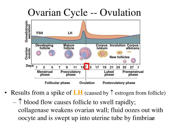 Ovarian Cycle -- Ovulation