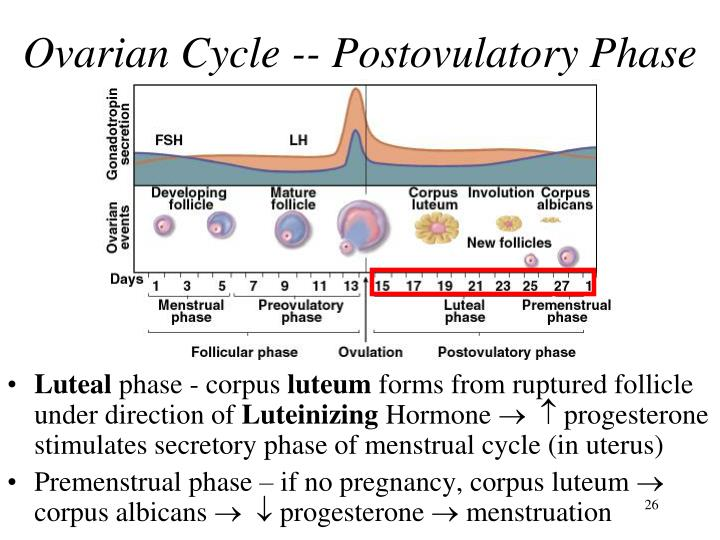Ovarian Cycle -- Postovulatory Phase