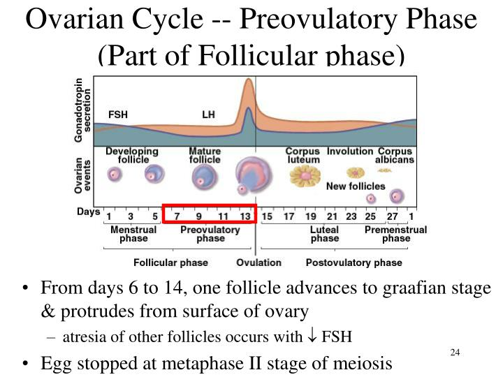 Ovarian Cycle -- Preovulatory Phase (Part of Follicular phase)