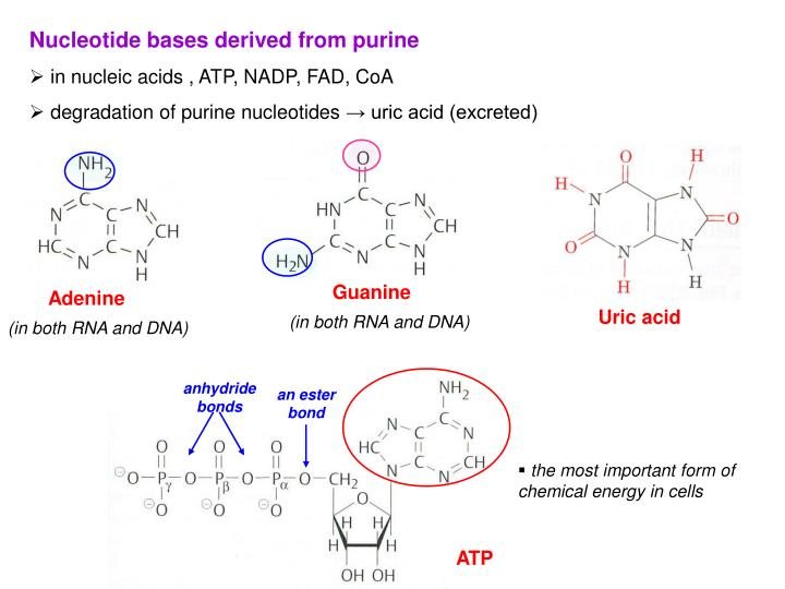 Nucleotide bases derived from purine