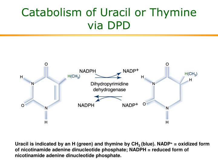 Catabolism of Uracil or Thymine