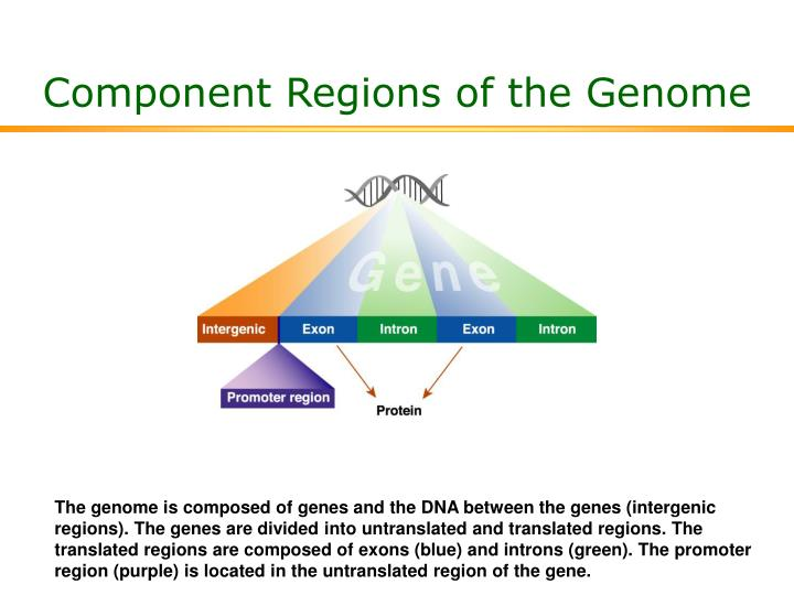 Component Regions of the Genome