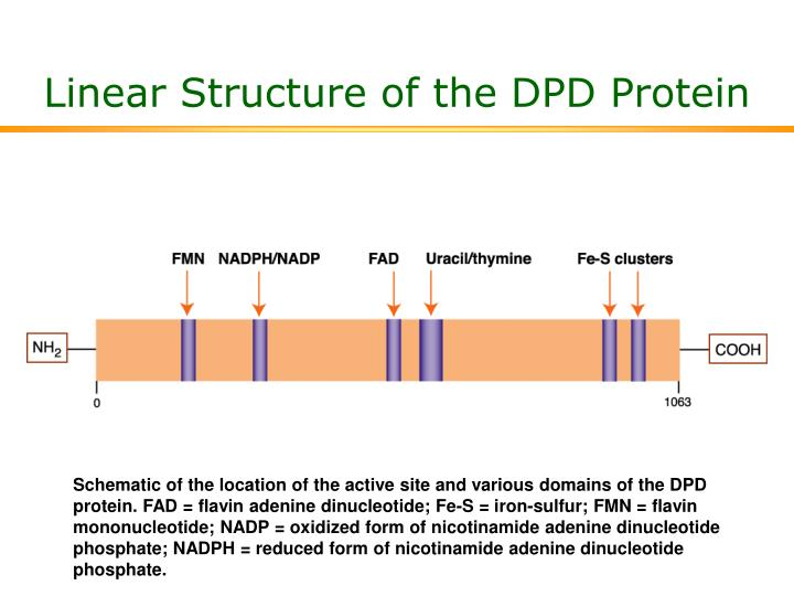 Linear Structure of the DPD Protein